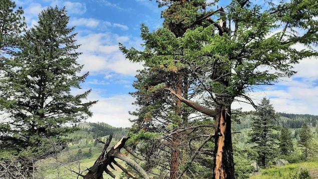 Une forêt avec des conifères sous un beau soleil