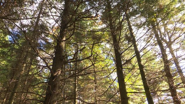 La Ville de Mont-Carmel au Bas-Saint-Laurent attend avec impatience que Québec lance la création de forêts de proximité.