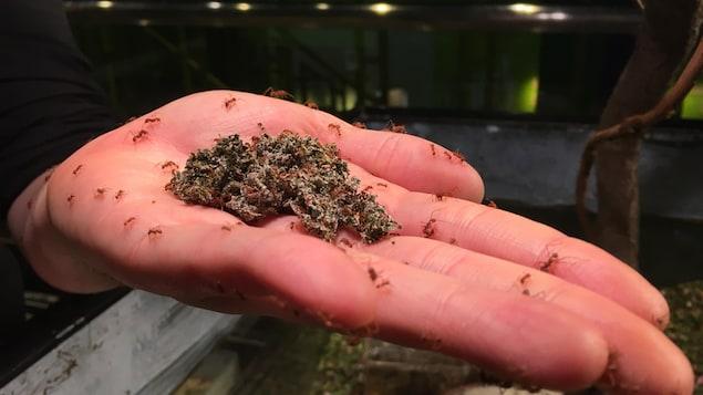 Des fourmis Atta à l'Insectarium de Montréal