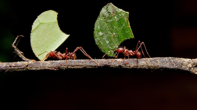 Deux fourmis coupe-feuille.