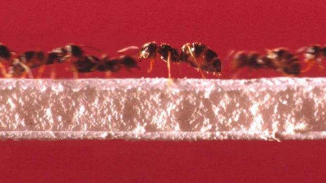 Des fourmis se déplacent sur un pont.