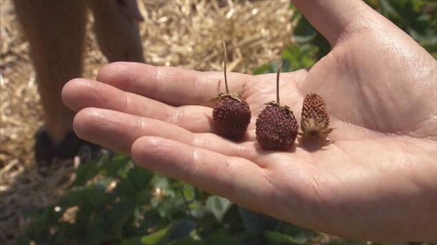 Des fraises séchées dans la mains d'une cueilleuse.