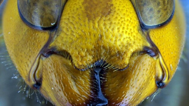 Un portrait agrandi d'un frelon géant asiatique
