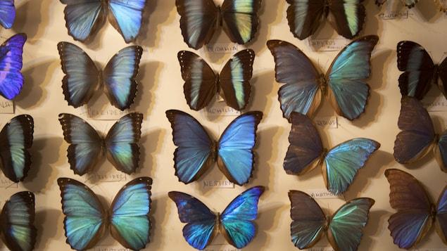Des papillons Moprho offrant différentes teintes de bleu et de vert.