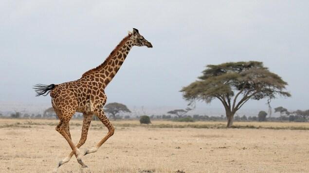 Une girafe dans le Parc National d'Amboseli au Kenya
