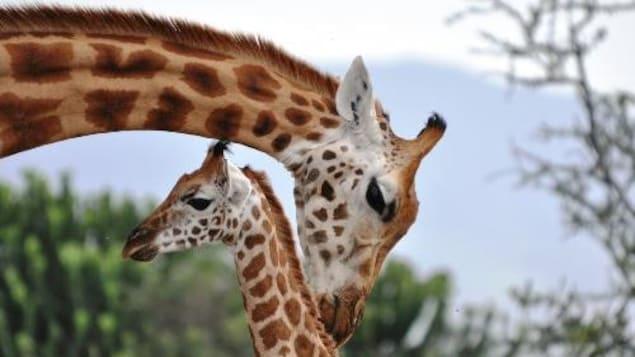 Une mère girafe s'occupe de son bébé dans la savane.