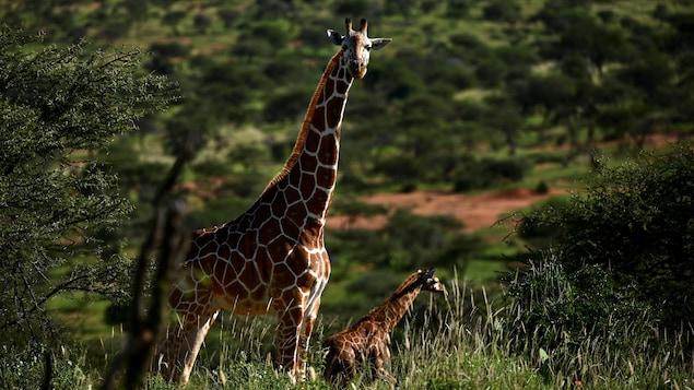 Une girafe adulte et un girafon.