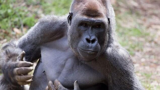 Un gorille mâle du zoo d'Atlanta se frappe la poitrine dans son enclos.