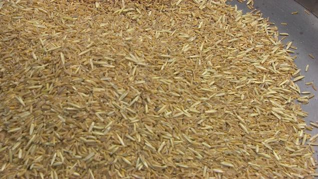 Des grains de Kernza