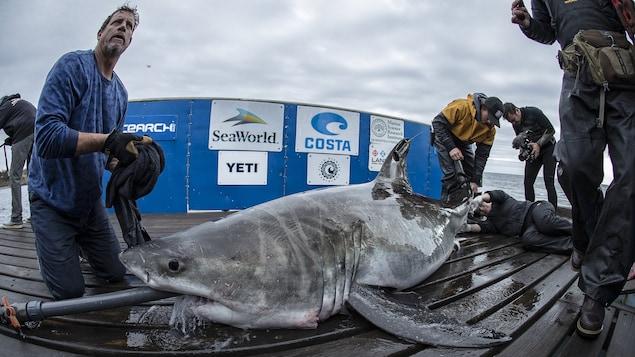 Un autre requin repose sur le ponton. Il a un tuyau dans la gueule.
