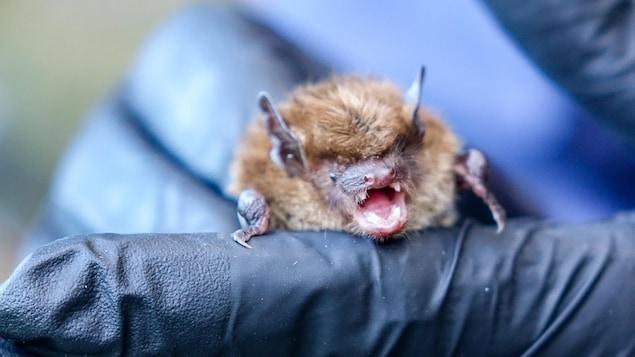 Un employé du Zoo de Granby tient une grande chauve-souris brune dans ses mains.