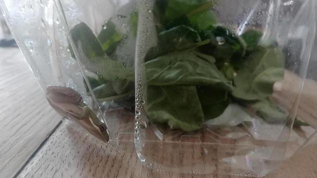 Le petit batracien est vu à travers le plastique du contenant.