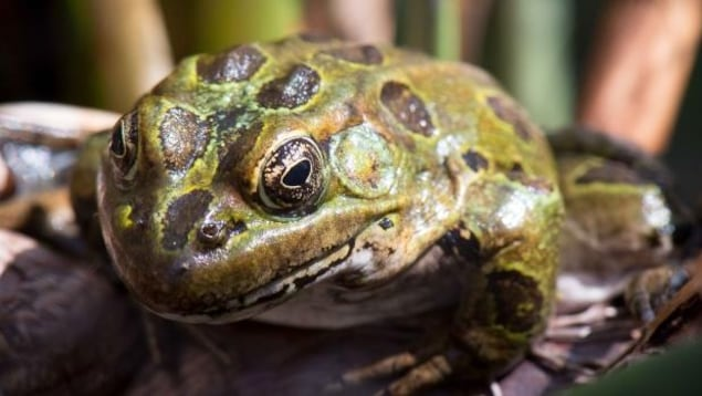 Gros plan sur le visage d'une grenouille léopard.