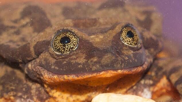 Gros plan de Roméo la grenouille, qui semble sourie.
