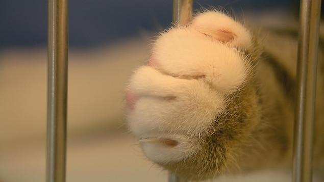 Une patte de chat non-dégriffée.