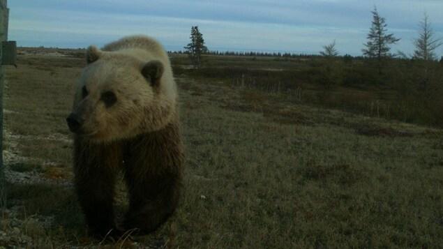 Un ours dans un paysage subarctique.