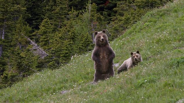 Un grizzly debout, un grizzly couché sur l'herbe.
