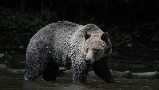 Un grizzly ayant la tête tournée se promène les pattes dans l'eau d'une rivière.