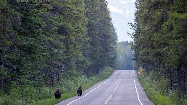 Un ours en poursuit un autre sur une route du parc national Banff, en Alberta.