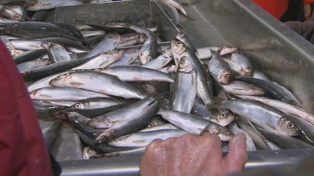 Une caisse de poisson