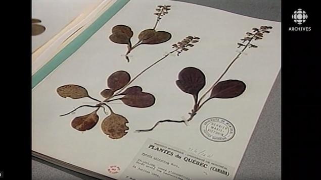 Gros plan de l'Herbier Marie-Victorin.