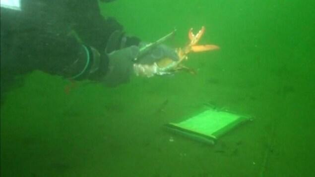 Un chercheur mesure la carapace d'un homard.