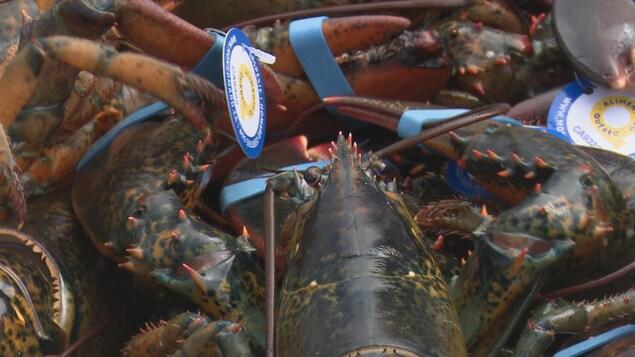 Des homards de la Gaspésie les uns par dessus les autres.