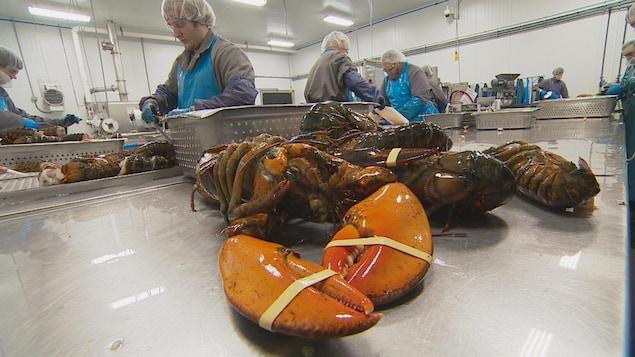 Des travailleurs dans une usine décortiquent des homards cuits
