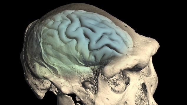 Le crâne d'un Homo précoce provenant de Dmanisi, en Géorgie.