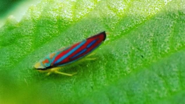 Une tordeuse à barre oblique (Graphocephala coccinea) sur une feuille.