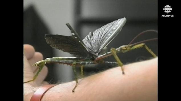 Un insecte avec camouflage de branche feuillue sur le bras d'un homme.