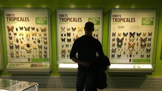 Un homme, de dos, regarde des insectes épinglés dans des boîtes vitrées, appelées des « étaloirs ».