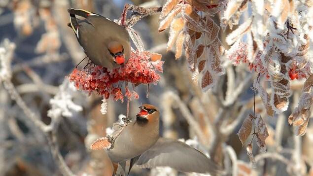 Deux oiseaux photographiés sur une branche gelée.