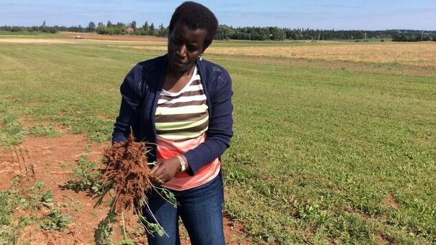 Judith Nyiraneza montre les racines du sorgho, sur un champ.