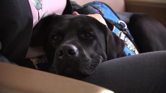 Le chien Kanak repose sa tête sur les genoux de sa maîtresse.