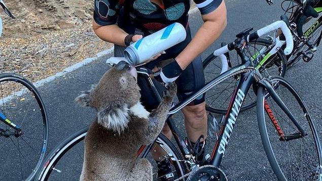 Un koala boit dans la gourde que lui tend la cycliste.
