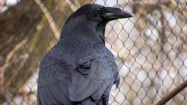 On voit Kola un grand corbeau mystérieusement disparu du Zoo Ecomuseum à Sainte-Anne-de-Bellevue à la suite d'une entrée par effraction dans sa volière et qui vient d'être retrouvé. Il a été photographié quelques jours après son retour chez lui.