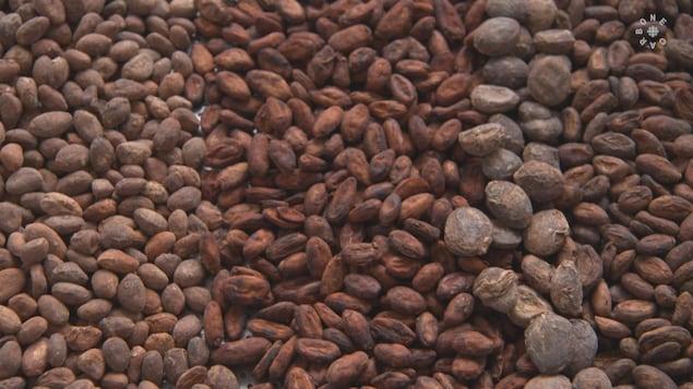 Peu de gens connaissent toute la diversité des fèves de cacao qui ont différentes arômes.