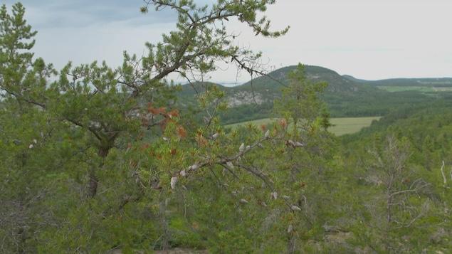 Le pin gris est actuellement présent dans la région de Kamouraska, au Bas-Saint-Laurent.