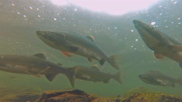 Images sous-marine de saumons de l'Atlantique en rivière.