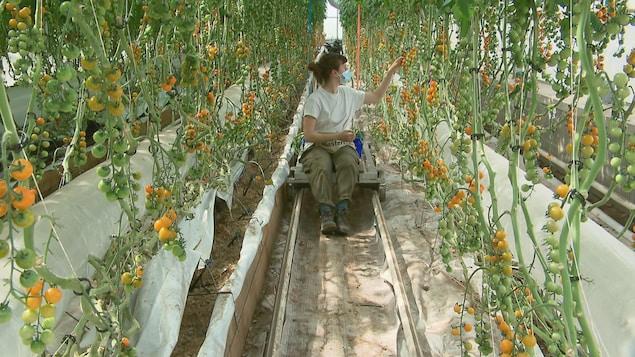 Une jeune agricultrice dans les rangs d'une serre de production de tomates cerises.