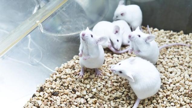 Six souris blanches de laboratoire dans une cage.