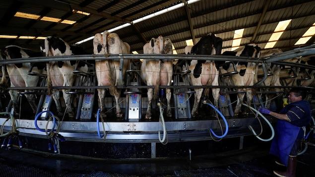 Des machines pour traire les vaches sont attachées à des vaches laitières.