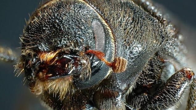 La tête d'un dendroctone du pin.