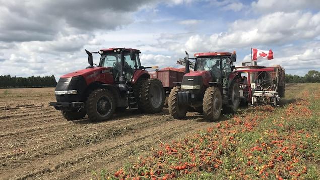 Deux tracteurs font la récolte de tomates dans un champ de Leamington.