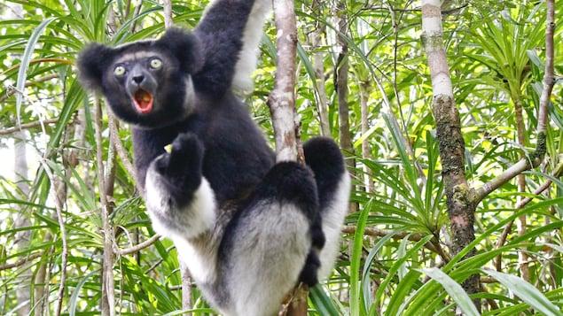 Un individu de l'espèce Indri indri dans un arbre de Madagascar.