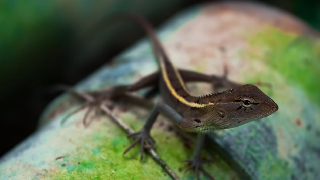 Un lézard de Madagascar