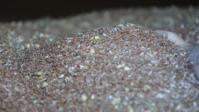 La graine de lin après avoir été récoltée