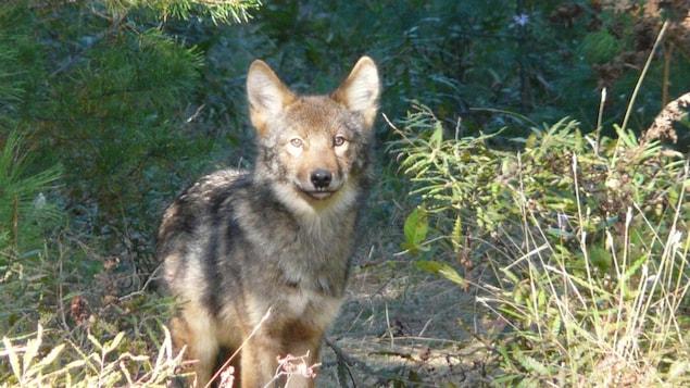 Un loup de l'Est (Canis lupus lycaon).