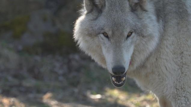 Un loup, de face, en gros plan